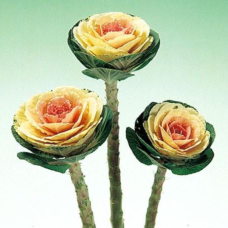 декоративна капуста на зріз зображення