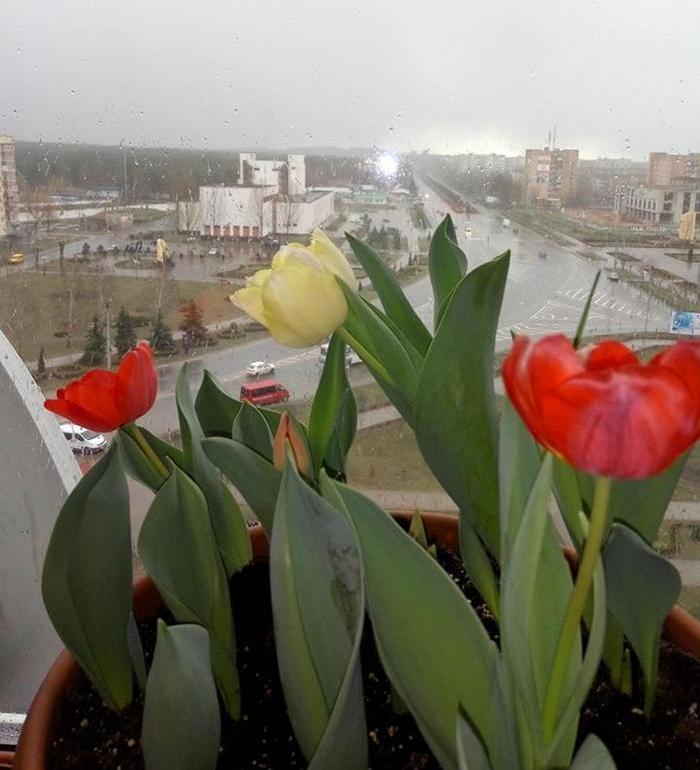 вирощування тюльпанів на балконі