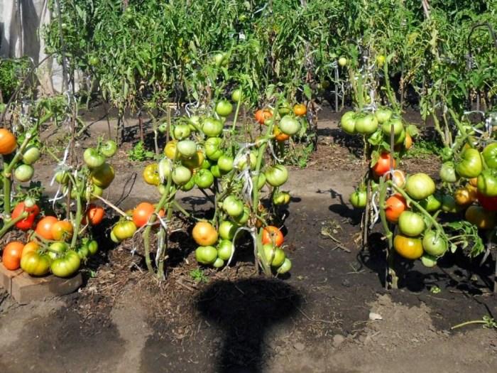 догляд за помідорами в серпні картинка