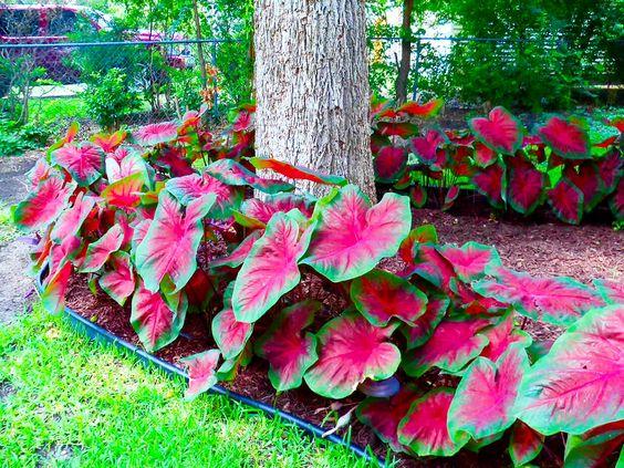 каладіум в саду фото