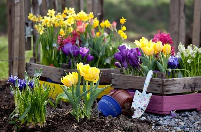 тюльпани ростуть в ящиках