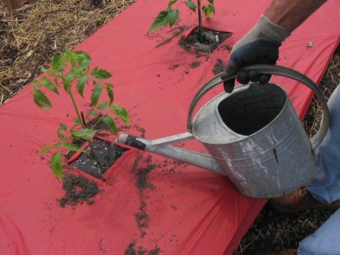 Регулярний полив для томатів - запорука врожаю