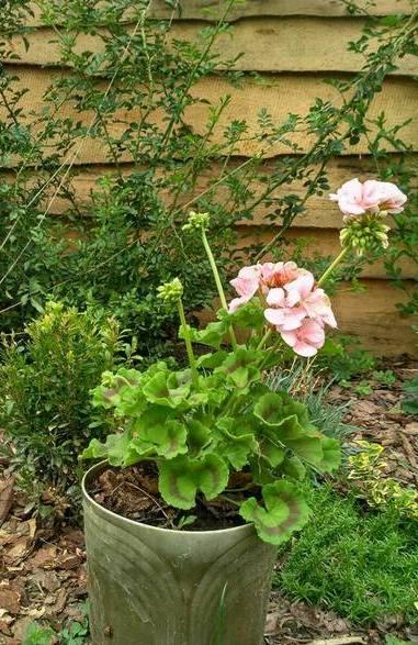 пеларгонія в саду