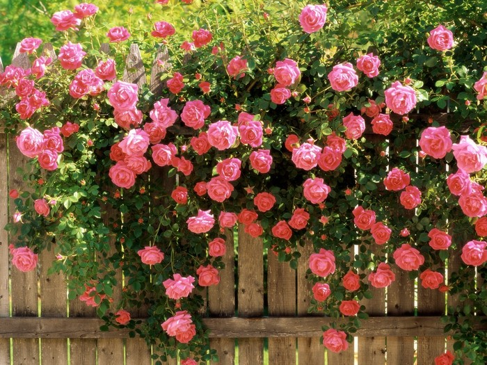 троянда плетиста на паркані