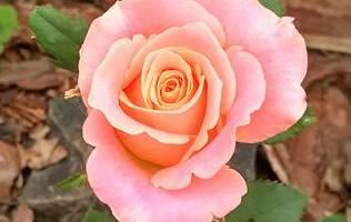 фото троянди