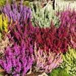 Верес звичайний – вирощування в саду