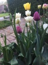 тюльпани в саду