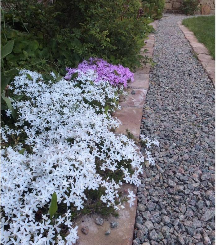 флокси біля садової доріжки