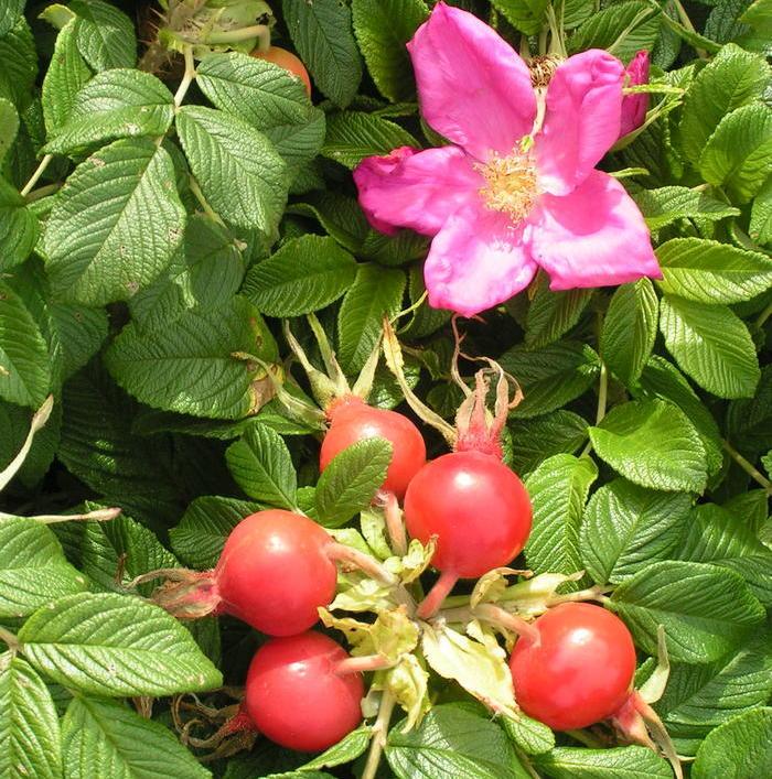 Зимостійка троянда Scabrosa