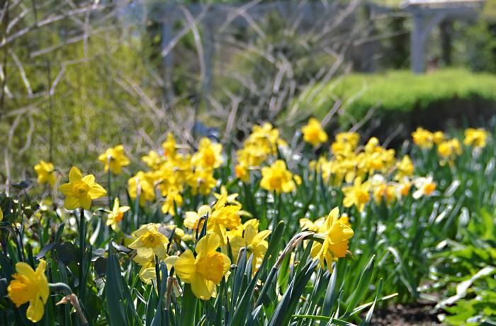 Весняні цибулинні - зірки квітників в квітні