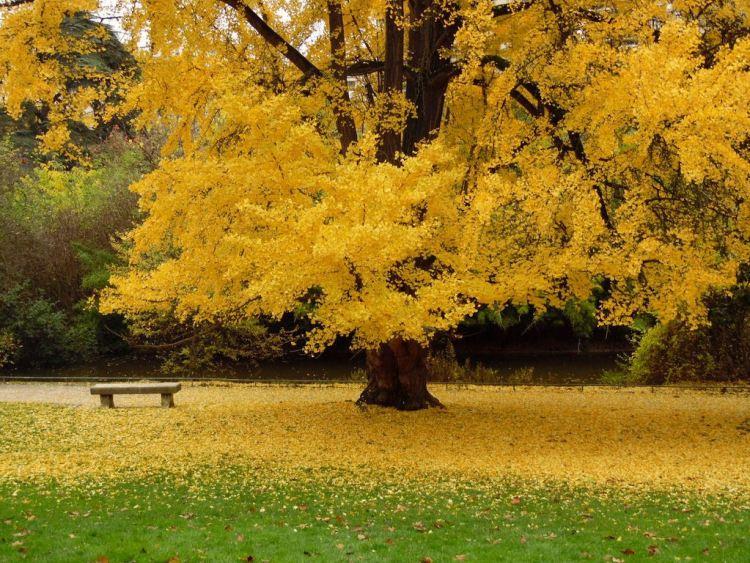 Осіннє дерево Гінкго - це велика золота пишність