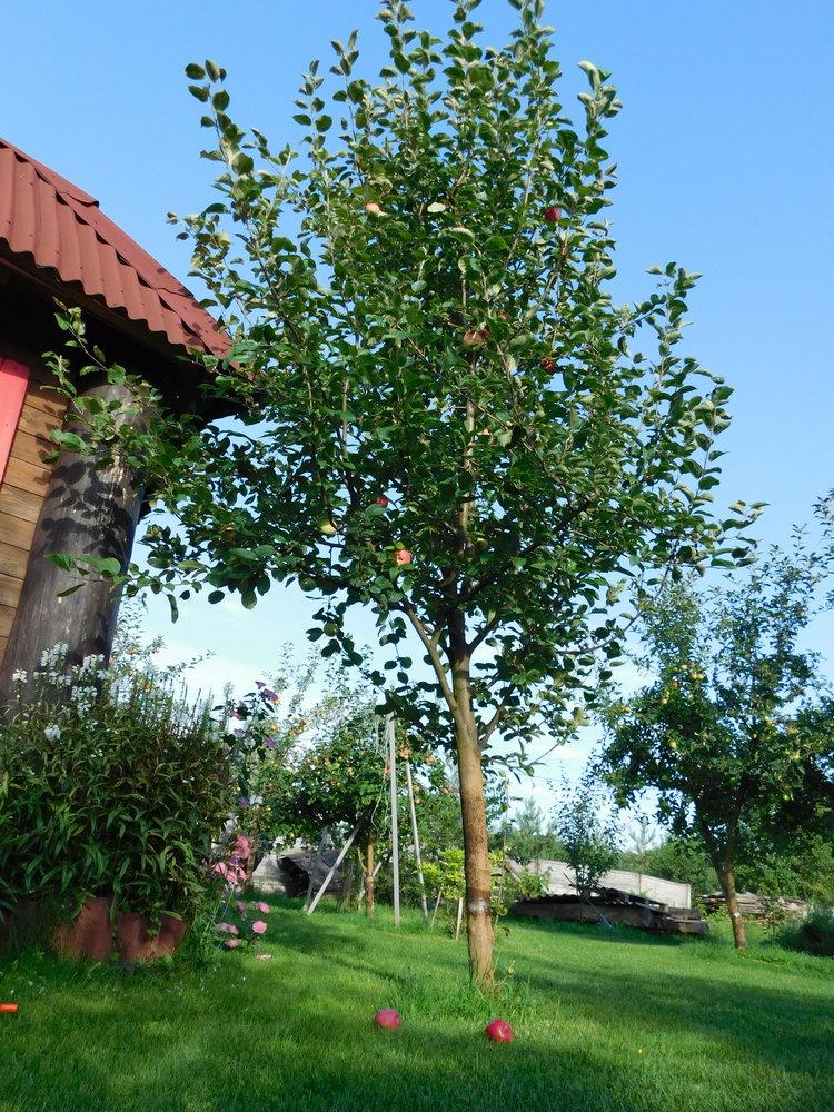 Дерева, що плодоносять, або вже закінчили плодоносити, в серпні варто підживити для забезпечення їх гарної зимівлі