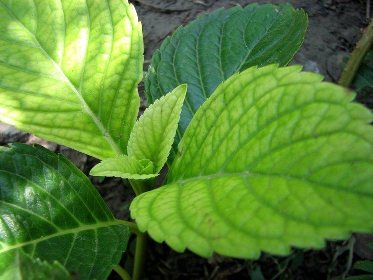 """""""Залізний"""" хлороз листя гортензії"""