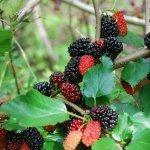 Розмноження шовковиці живцюванням влітку і на початку осені