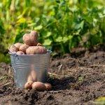 5 причин, чому я більше не садитиму картоплю