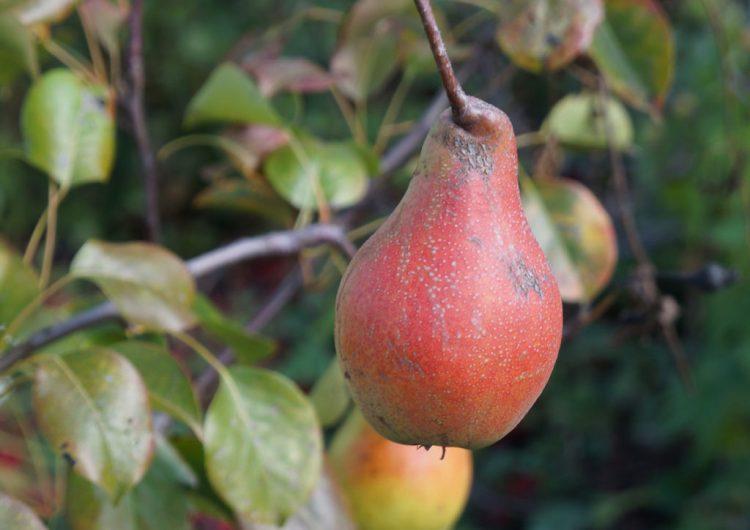 Груша «Яковлевська» на дереві