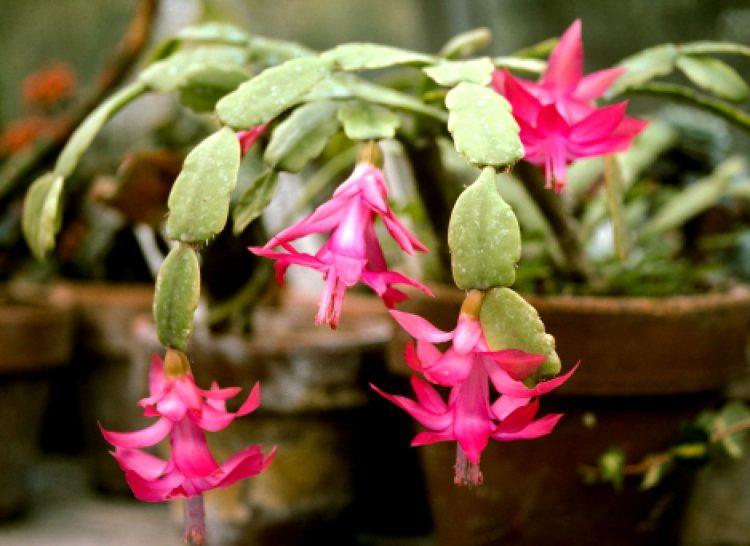 Різдвяний кактус, різдвяник чи шлюмбергера (Schlumbergera)