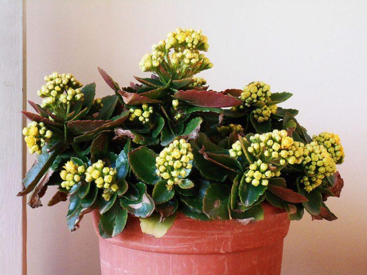Каланхое Блоссфельда (Kalanchoe blossfeldiana)