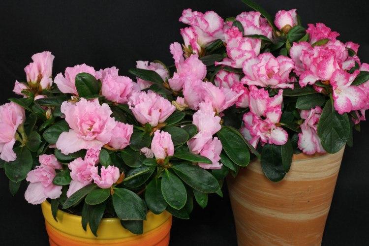 Рододендрон Сімса (Rhododendronsimsii)