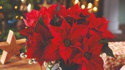 6 кімнатних рослин, які взимку досягають піку своєї декоративності