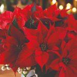 6 кімнатних рослин, які яскраво цвітуть взимку