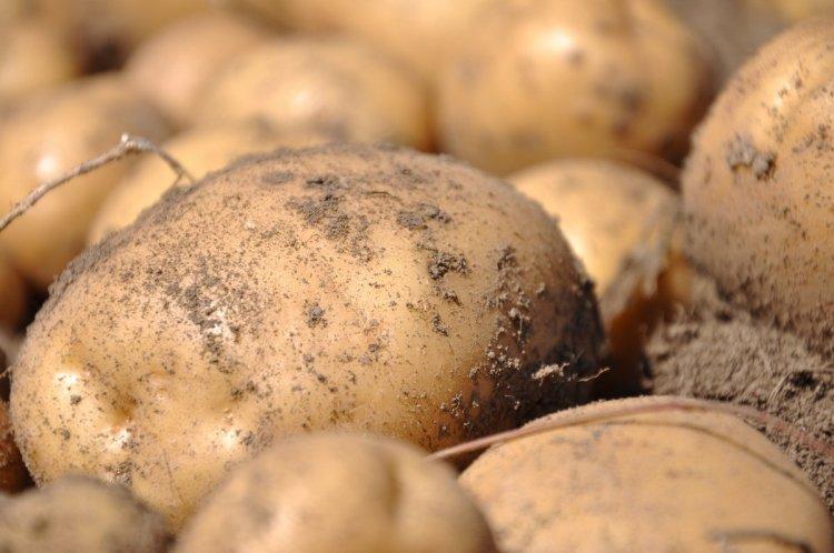 При вирощуванні в конусах картопля розвиває потужну кореневу систему, на якій утворюється безліч бульб