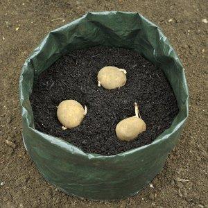Картоплю можна вирощувати навіть в поліетиленових мішках