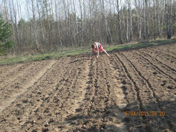 Можна просто розкласти картоплю прямо по землі, не прикопуючи – вона чудово виросте