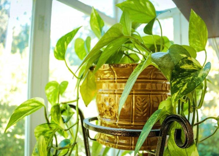 Довгі паростки багатьох кімнатних рослин навесні можна і навіть потрібно вкоротити, надаючи кущу або деревцю правильну форму