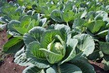 «Ледача» капуста, або Вирощуємо капусту без розсади