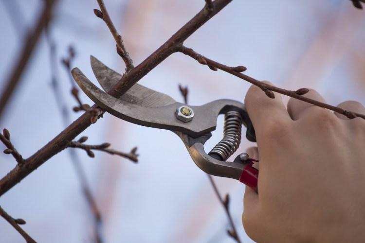 Якщо ви робите обрізку саду навесні, то відразу, з настанням теплих днів, беріться за неї