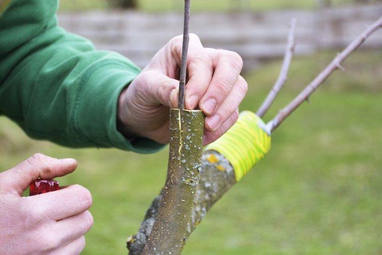 Для дерева-саду правильно прищеплювати літні сорти на літні, осінні на осінні, зимові на зимові, або з близькими строками дозрівання