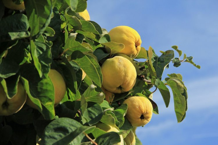 Айва — гарне дерево, смачні і корисні плоди