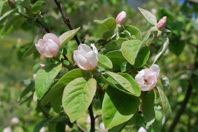 Квіти айви — великі та ніжно-рожеві — злегка нагадують квіти магнолії