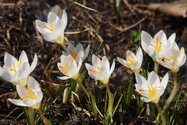 Квіти крокусів відрізняються ніжним ароматом та приваблюють безліч бджіл