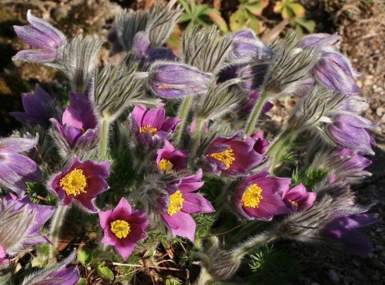 Дзвонові квітки прострілу можуть мати різне забарвлення