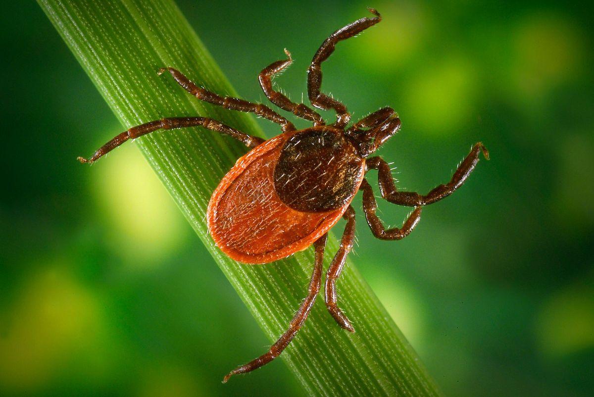 Кліщі і хвороба Лайма, або Як захистити себе від борреліозу