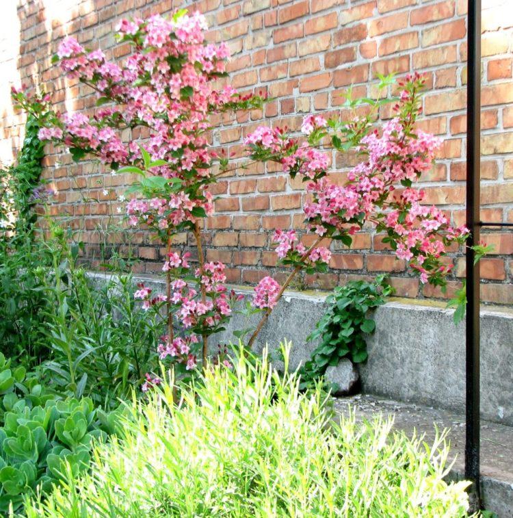 Вейгела чудово росте не тільки на відкритому сонці