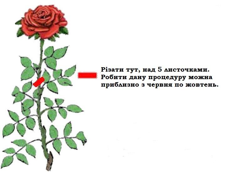 Як правильно обрізати квітку троянди, що відцвіла
