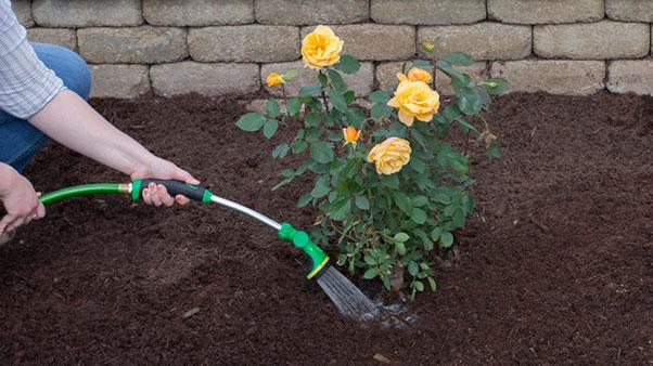 Поливати троянди краще рідше, але глибше