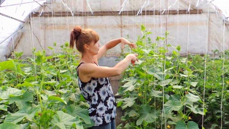 У процесі росту огірка поступово наводимо рослину до одного головного стебла, обрізаючи бічні пагони