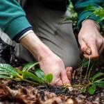 Розмноження декоративних та плодових культур відводками