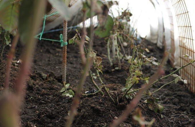 Троянди на зиму повинні піти сухими, тому в дощову осінь їм потрібно влаштувати укриття перед утепленням
