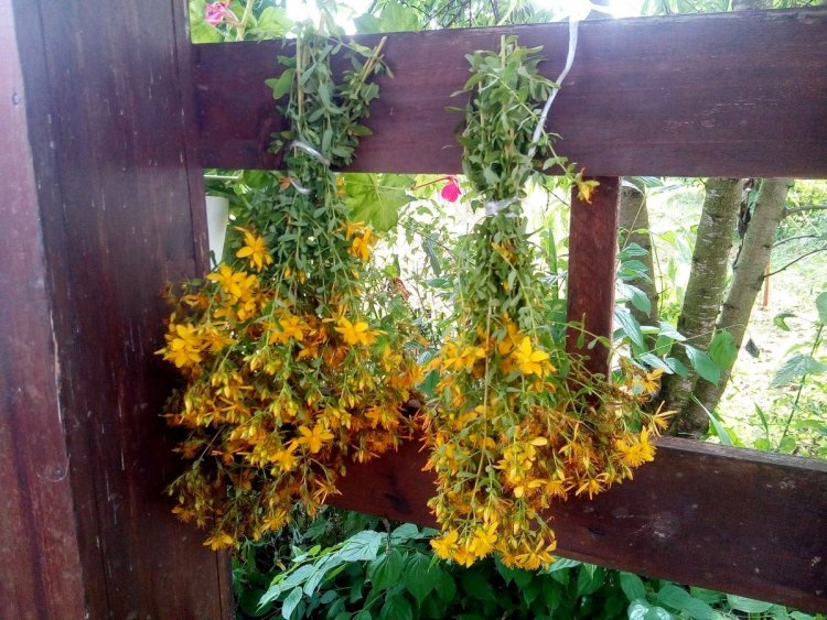 Я використовую найпростіший спосіб сушіння — не туго пов'язую рослини у маленькі вінички і вішаю на вулиці, на літній веранді