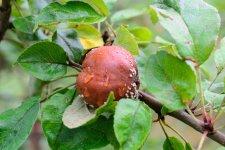 Чому гниють яблука на гілках?