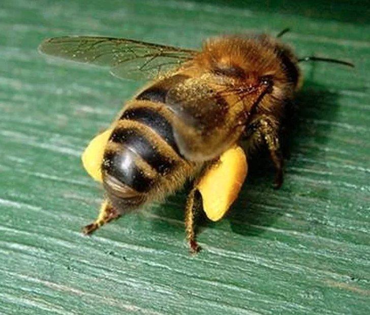 Ось в таких «штанцях» з пилку бджілки повертаються до вулику. Нектару не видно, він — у зобіку