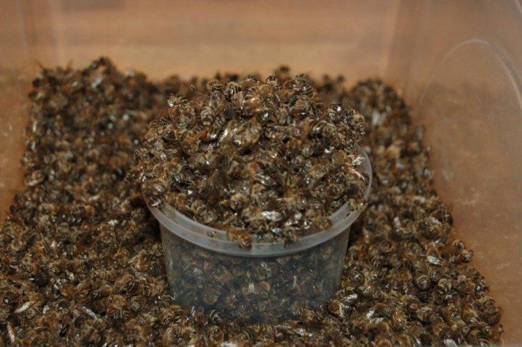 Бджілки настільки корисні істоти, що навіть підмор — тіла загиблих особин — використовується для лікування багатьох захворювань