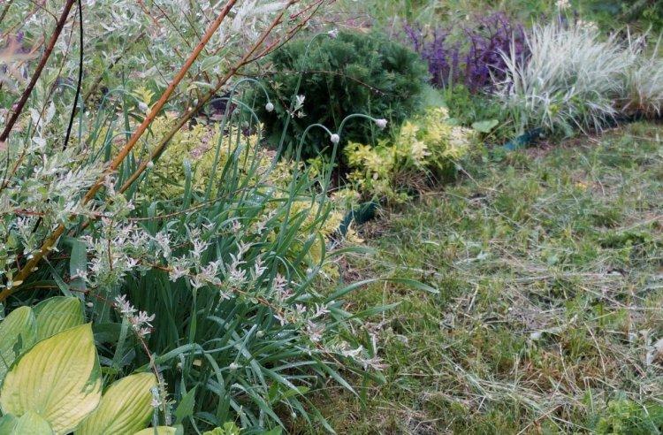 Цибуля поникла (Allium nutans) на квітнику в фазі бутонізації