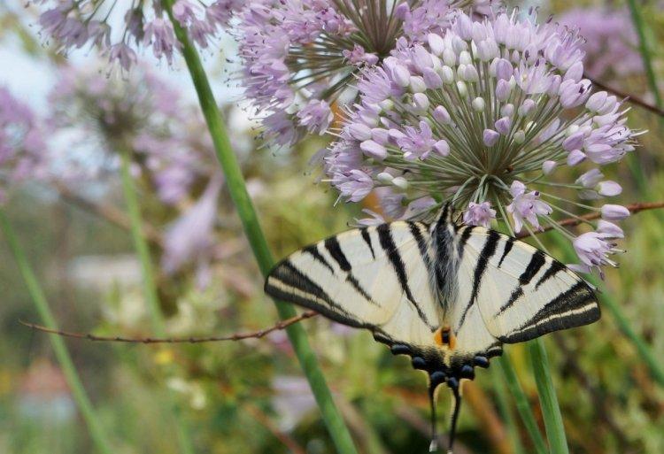 Завдяки присутності цієї цибулі у нашому садку, ми можемо спостерігати в квітнику навіть крилатих красунь рідкісних видів