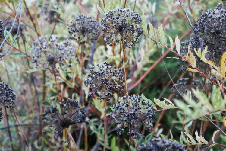 Навіть глибокої осені цибуля поникла продовжує прикрашати квітник
